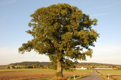 Eiche im Westen (Naturdenkmal)